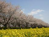 桜並木と菜の花畑