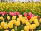 チューリップと菜の花