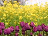 チューリップと菜の花2