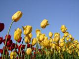 黄色のチューリップと青空
