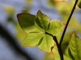 ゴヨウツツジの葉